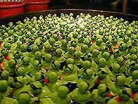 duck crowd